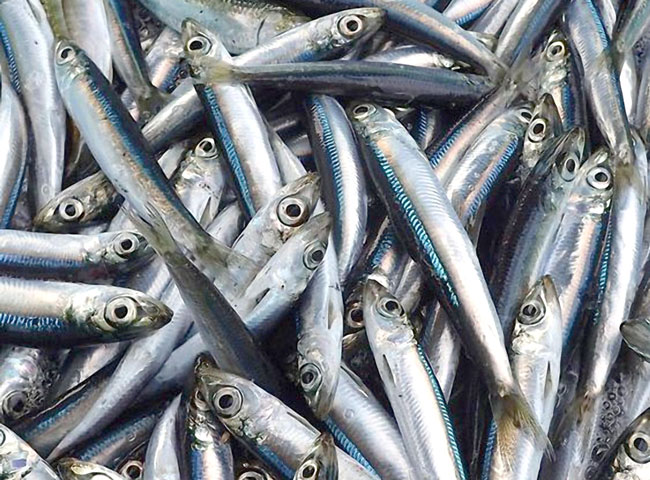 anchovy from Phu Quoc Island